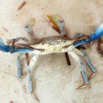 """Allarme Granchio Blu. E il Distretto Pesca dice sì al progetto """"Bleu Adapt"""""""